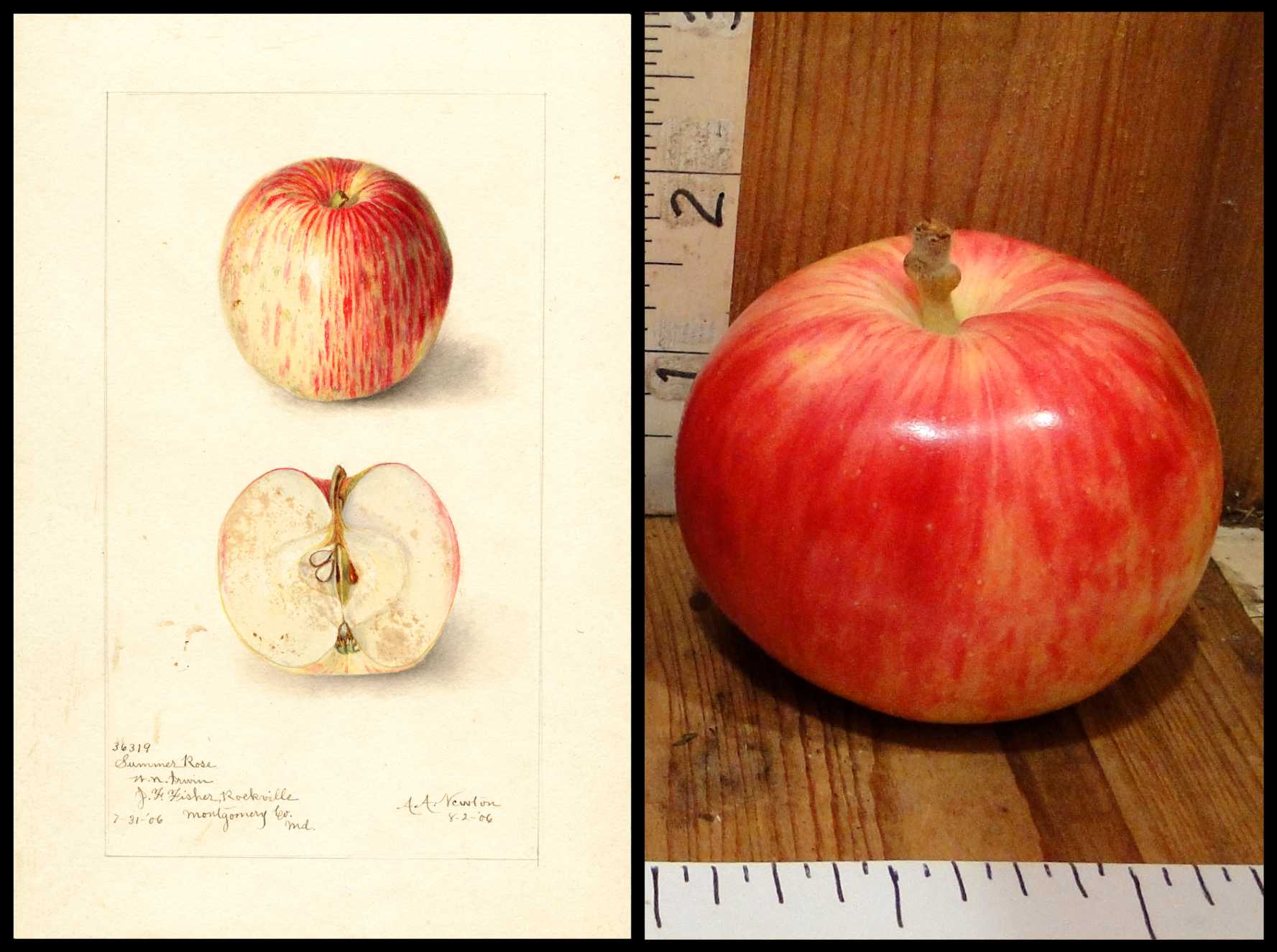 smooth apple striped with light yellow and light red