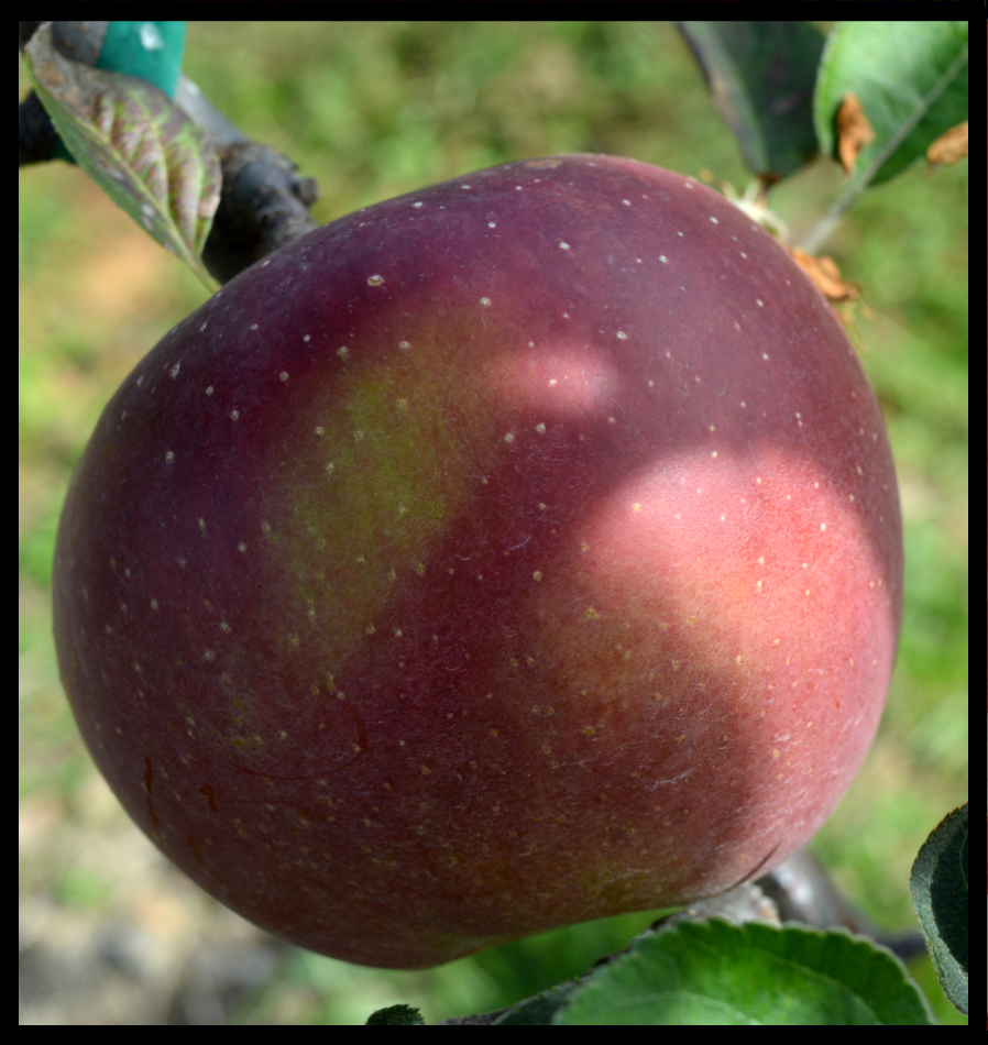 red apple with small white spots and a patch of green