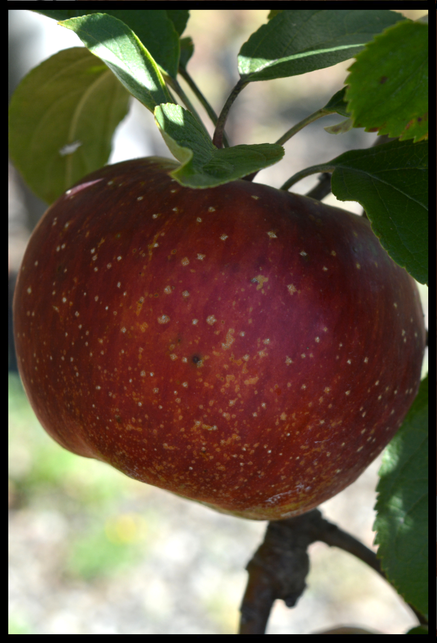 red apple with spots of tan and yellow