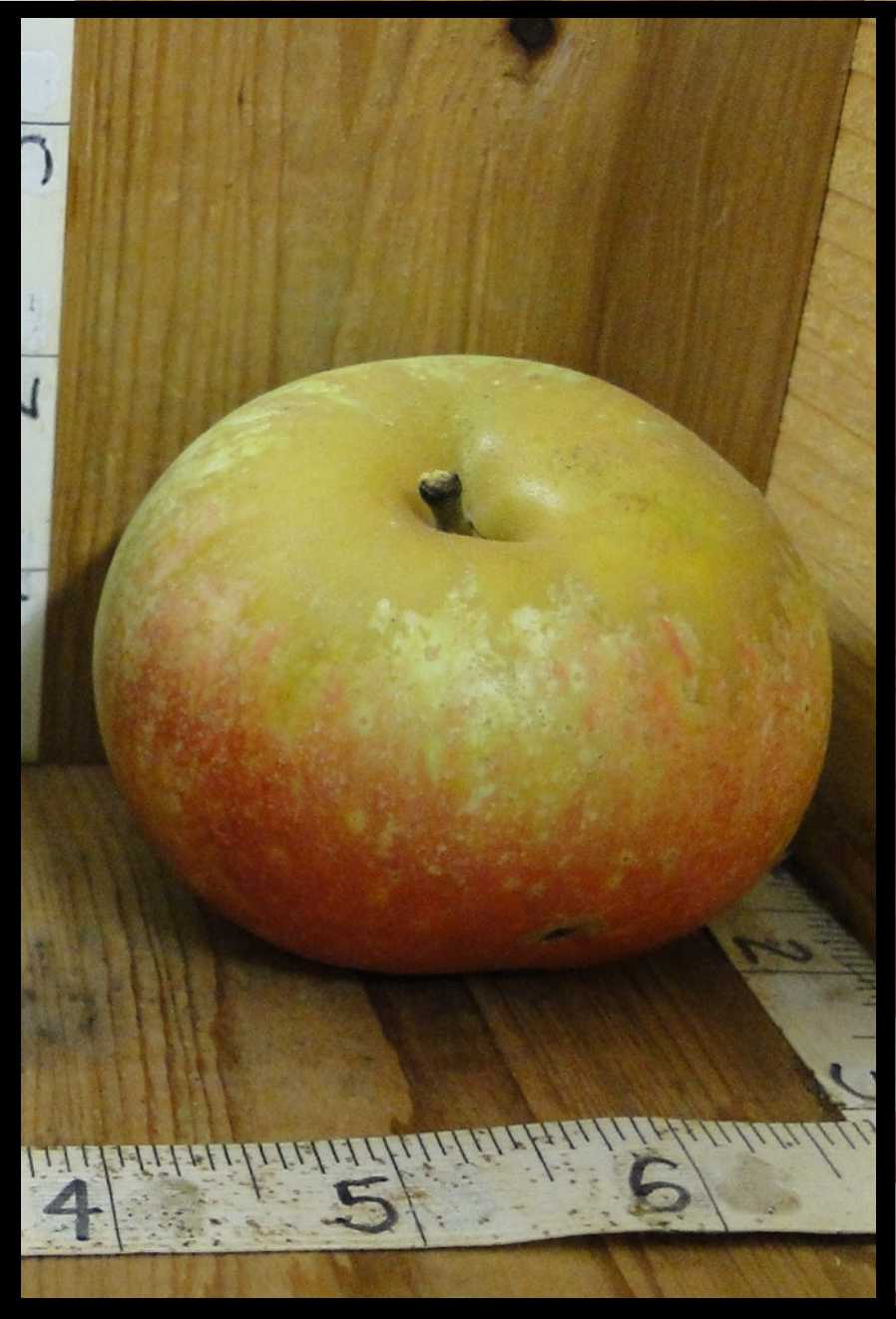 squat dull apple with a gradation of colors ranging from rough tan on the top third to yellow in the middle and light red on the bottom third of the fruit