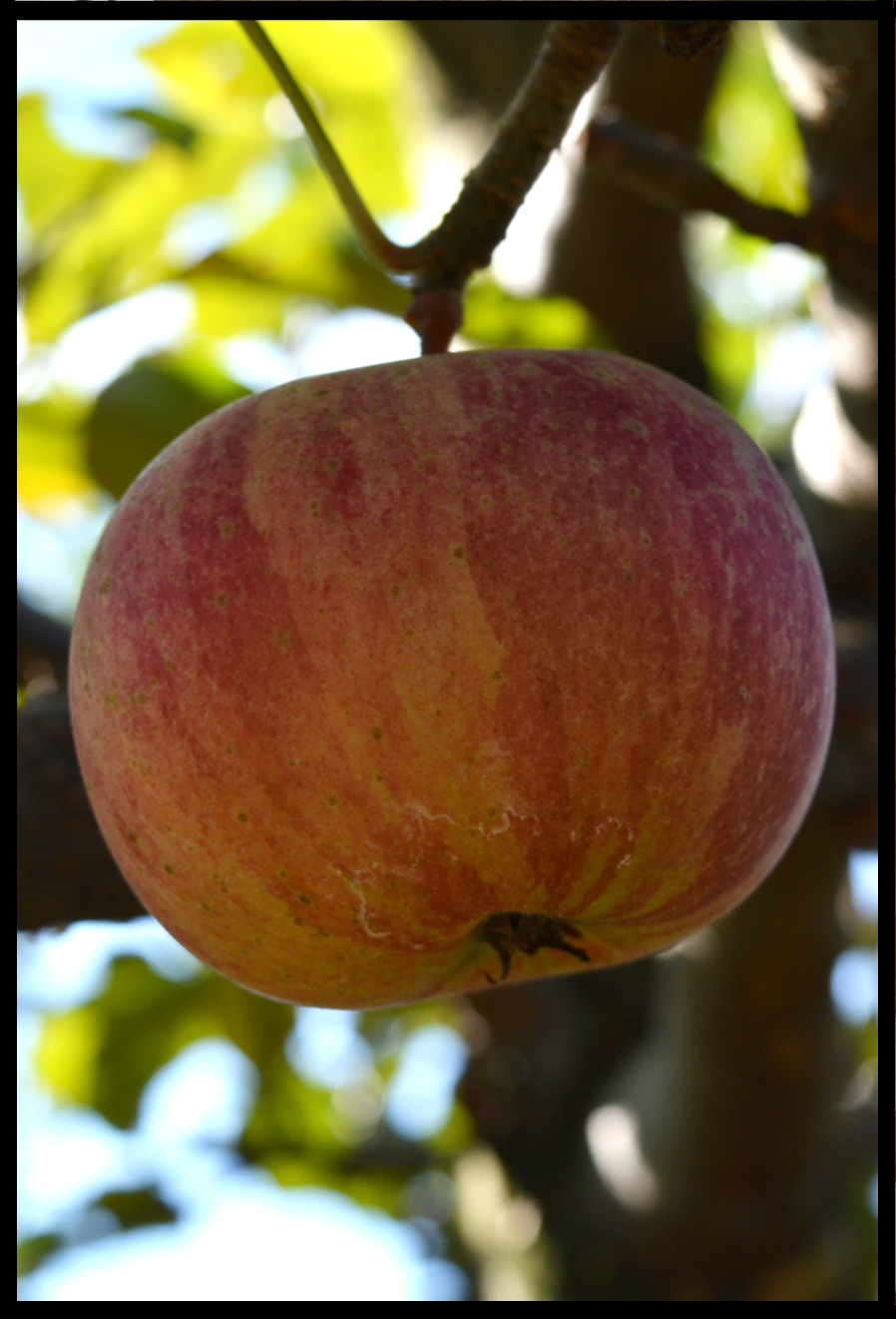 red and yellow striped apple hanging in a tree