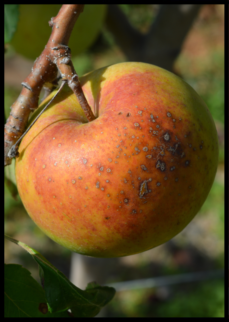 green apple with orangish red blush