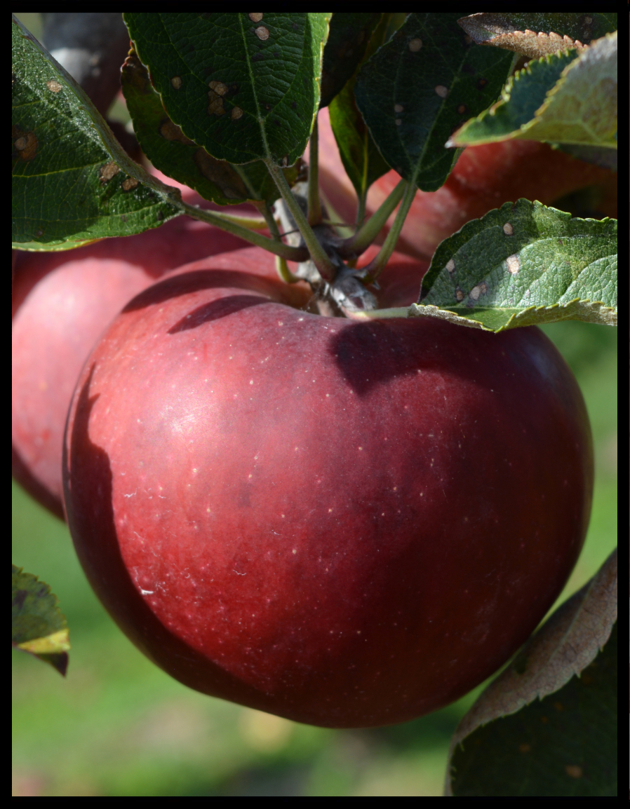deep red apple with tiny white dots
