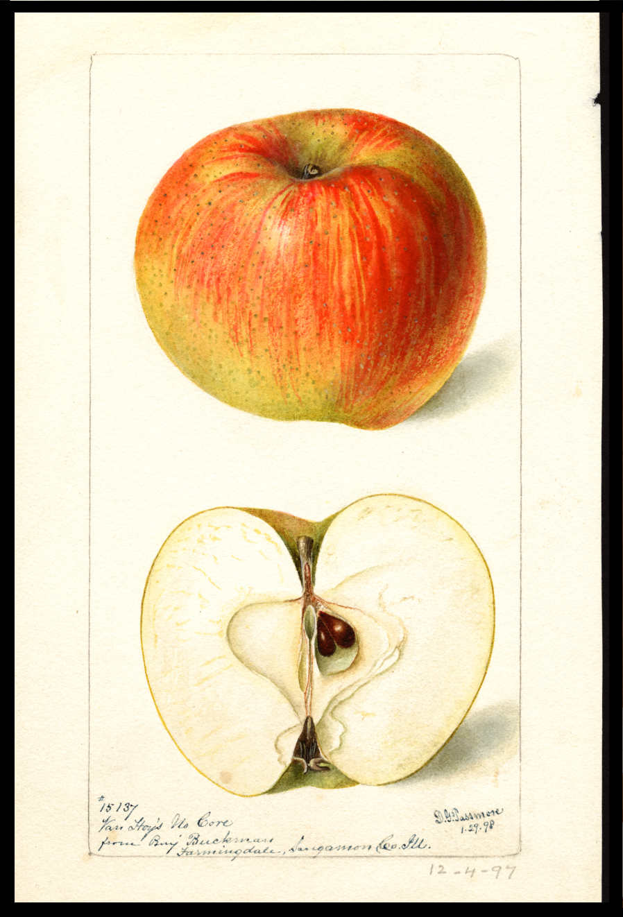 watercolor of a yellow apple with bright red streaks and blush and with numerous small green dots