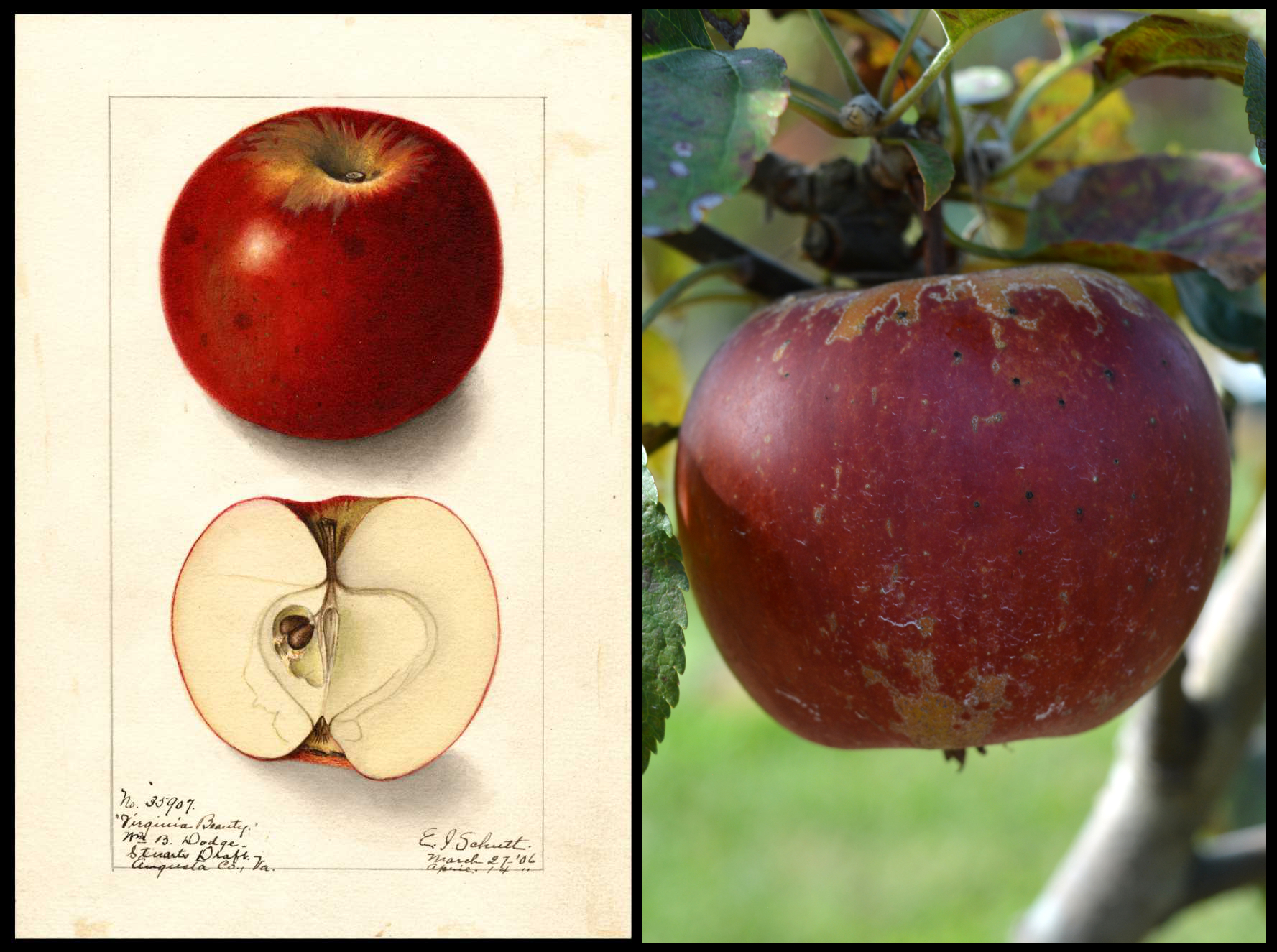 red apple with rough tan skin on the top and bottom of the fruit