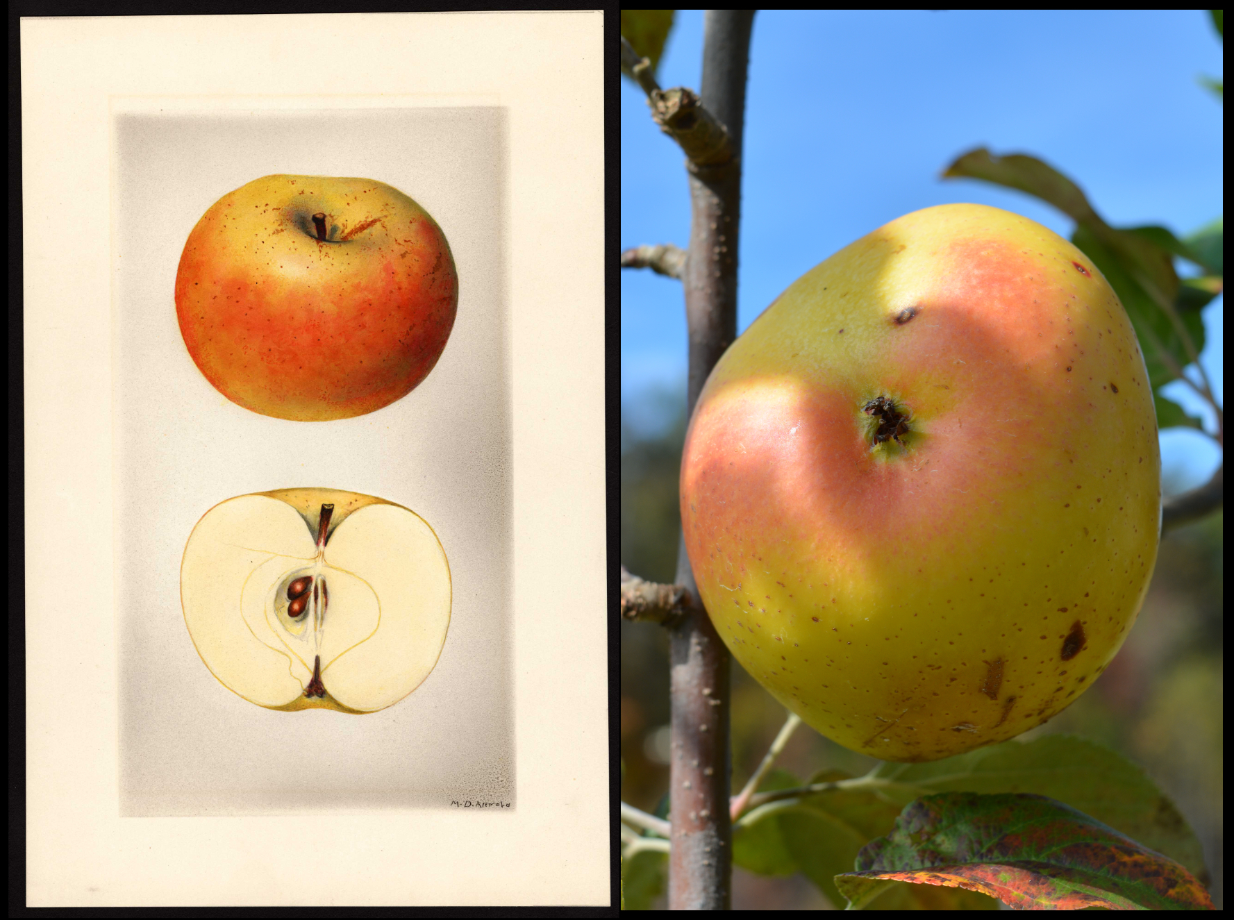 yellow apple with pink blush and small brown spots