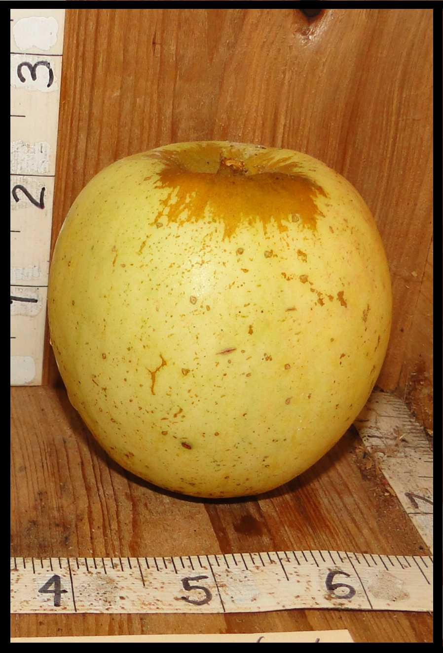 pale yellow apple with rough tan skin around stem and covered in numerous rough brown dots of varying sizes