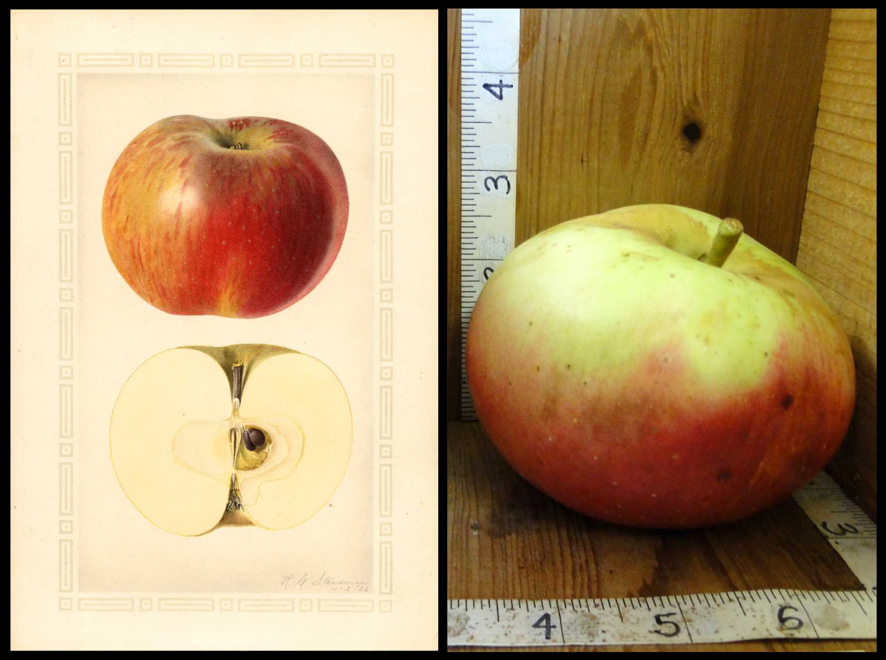 very pale yellow apple with dark red blush on the bottom half of the fruit