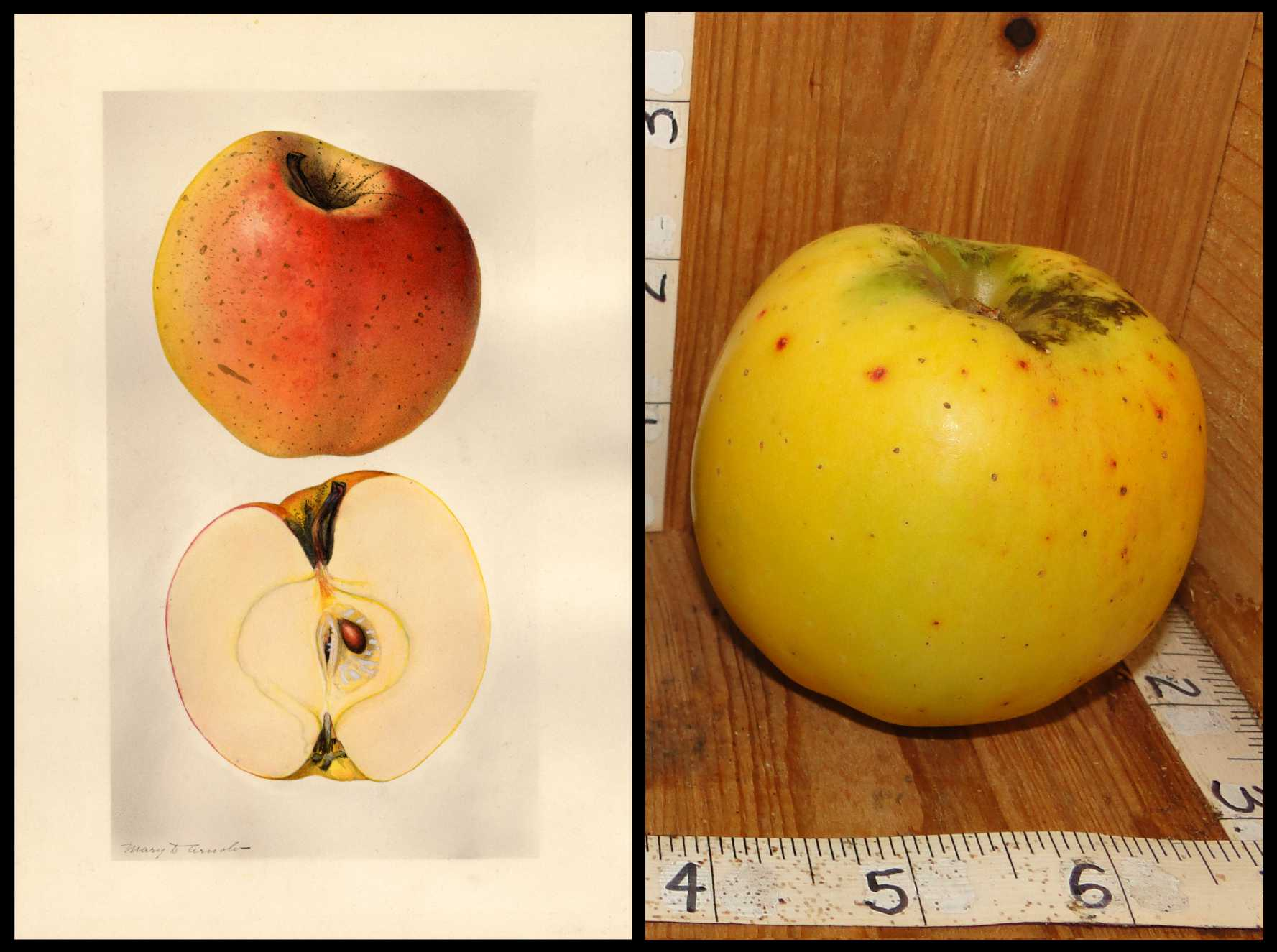yellow apple with medium sized red spots