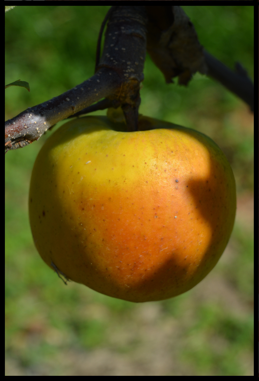 yellow apple with light red blush