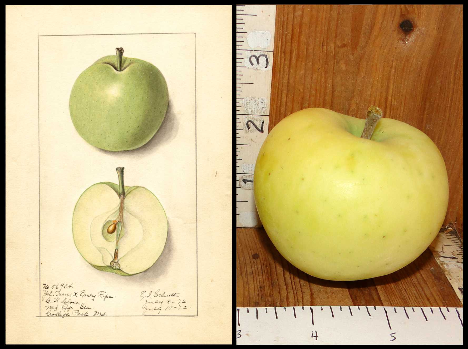 very pale yellowish green apple