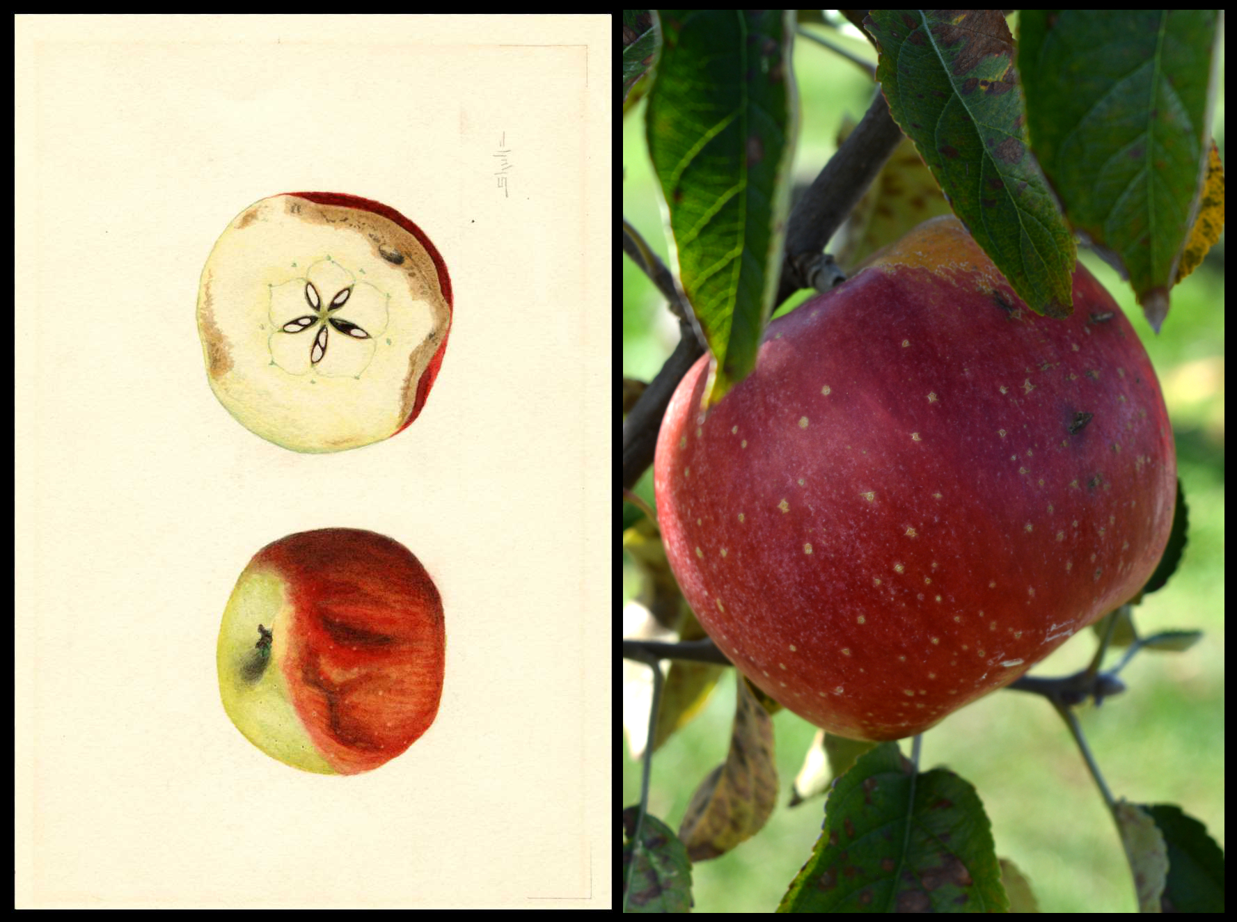 red apple with medium yellow dots and a patch of rough tan skin