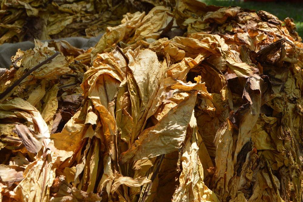 bright leaf tobacco leaves