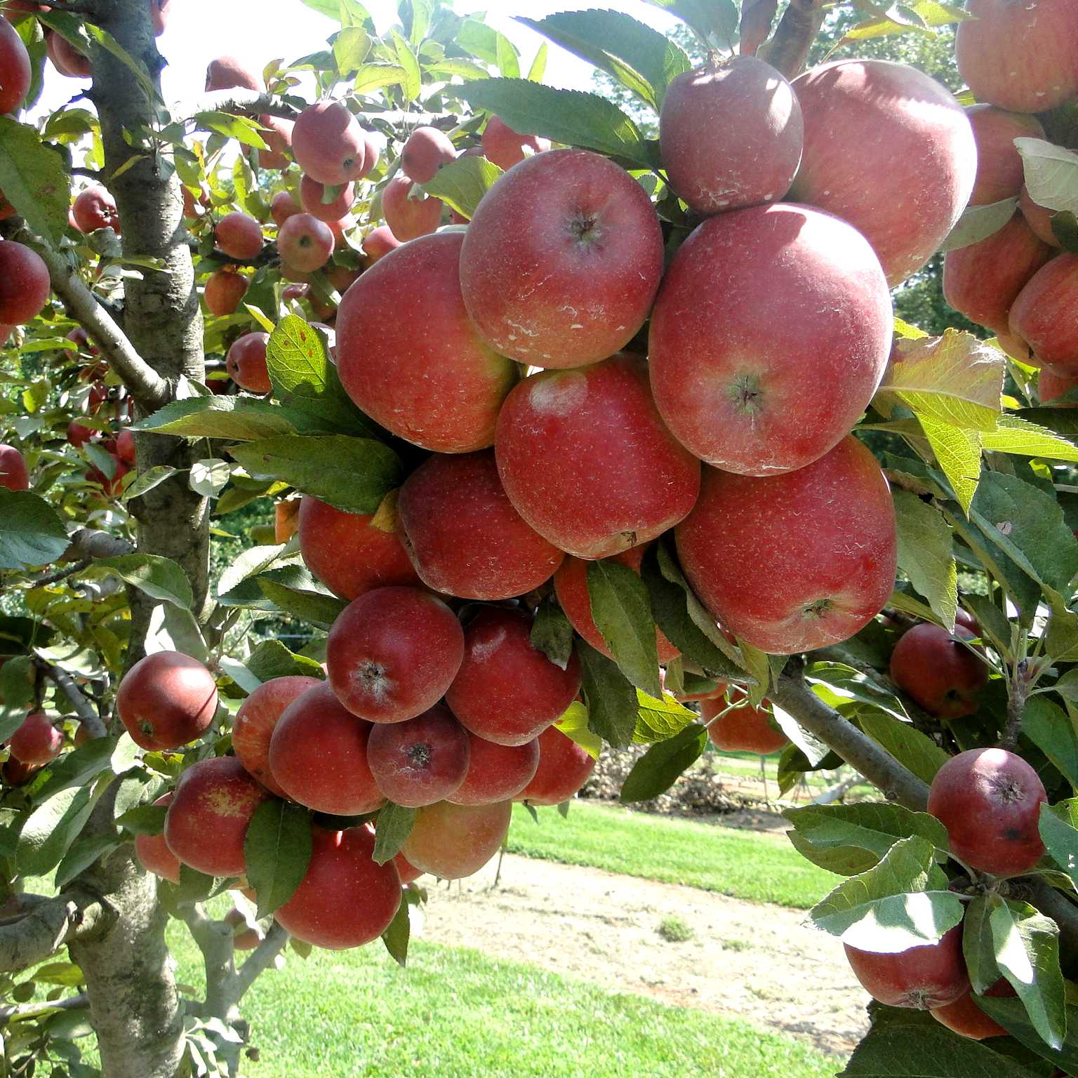 an apple tree stem overloaded with many red ripe apples
