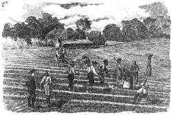 Enslaved laborers working in the fields