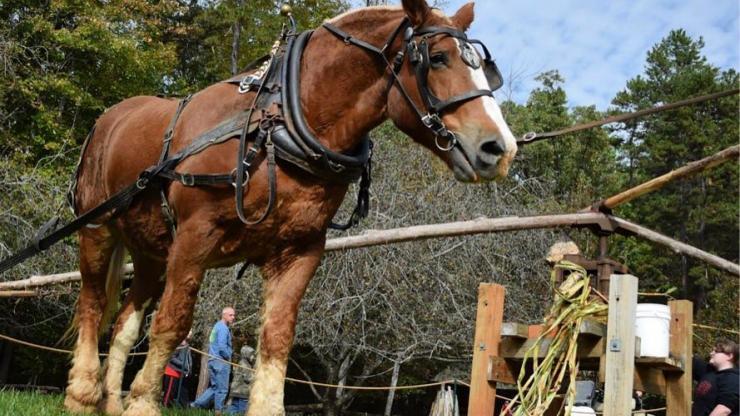 draft horse at Horne Creek Farm