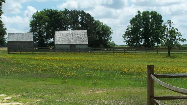buttercups at aycock birthplace