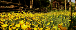 Buttercups at Vance Birthplace
