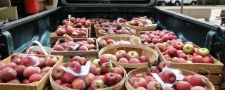 Back of a pickup truck filled with bushel baskets of red apples