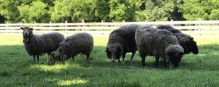 sheep at Aycock Birthplace