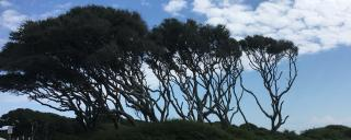 live oaks at Fort Fisher