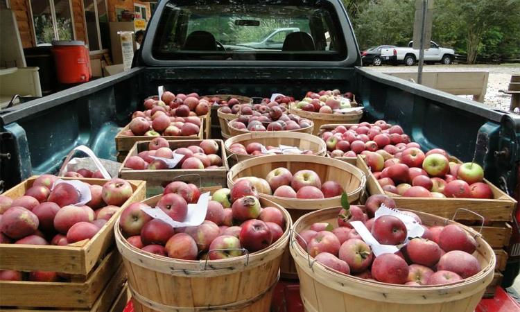 pickup truck full of apples