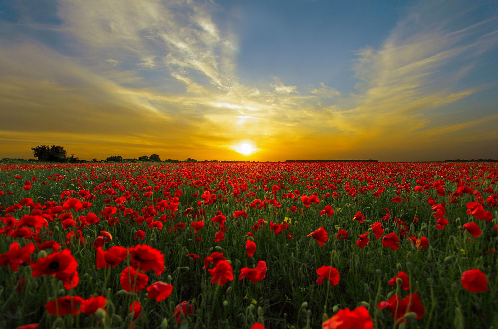 Poppies in a field, image featured in our exhibit,
