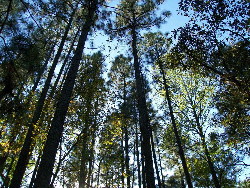 Arnett Branch Longleaf Pine Canopy by Crystal Cockman