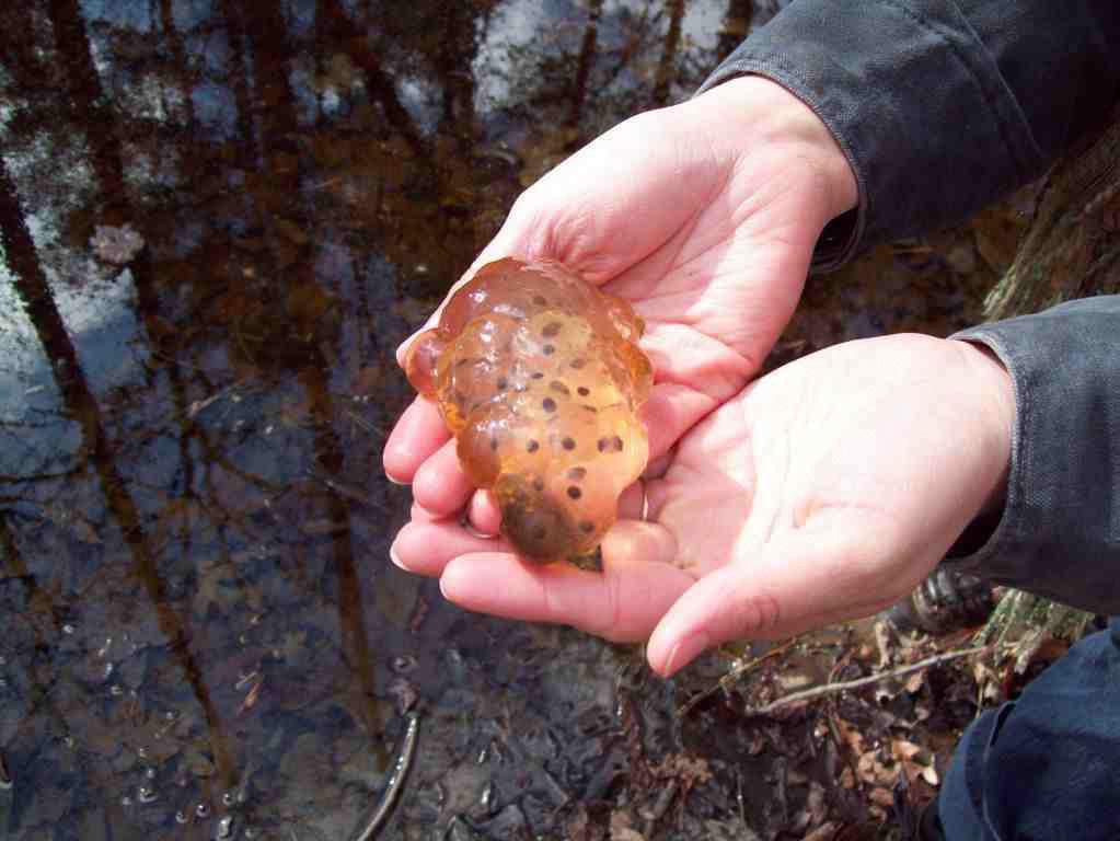 Salamander Eggs at Arnett Branch by Crystal Cockman