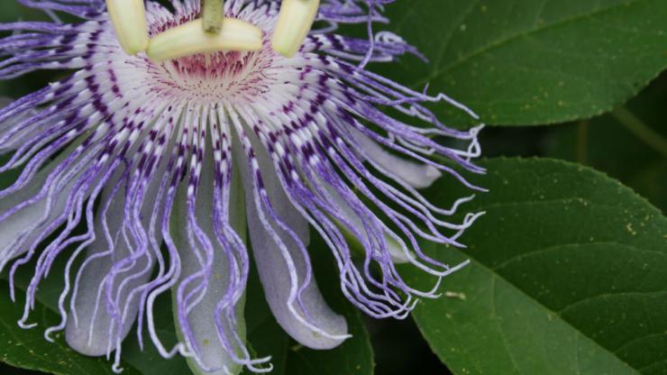 Maypop flower by Dale Suiter