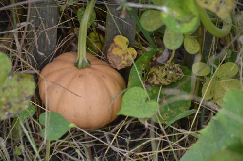 Pumpkin in American Indian Town garden at Roanoke Island Festival Park