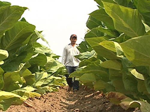 a grower standing in a field of crops