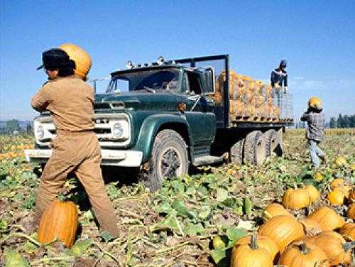 Farmworkers load pumpkins onto a truck in a field.