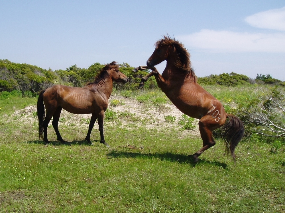 One wild stallion challenging another on the Outer Banks