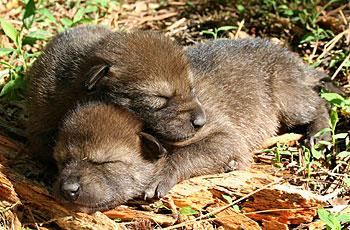 sleeping red wolf pups