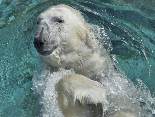 A polar bear at the North Carolina Zoo