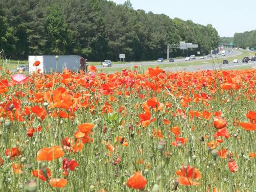 Poppies blooming along NC highway