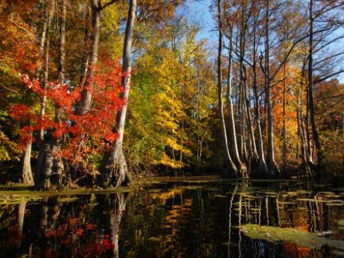 Fall at Merchants Millpond State Park