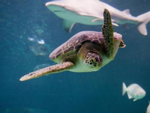 A sea turtle at the N.C. Aquarium at Pine Knoll Shores