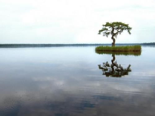 A lone cypress tree in the water at Singletary Lake State Park