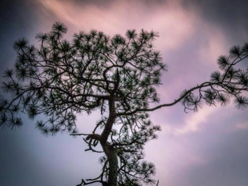 A Longleaf Pine tree rises toward the sky during a sunset at the Weymouth Woods-Sandhills Nature Preserve