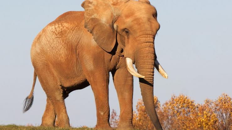 An elephant wanders the Watani Grasslands at the North Carolina Zoo