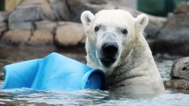 Nikita the polar bear