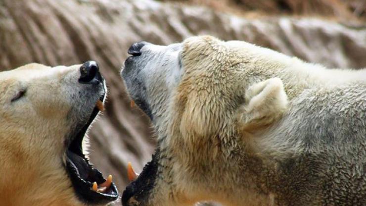 Polar bears Nikita and Anana at the North Carolina Zoo