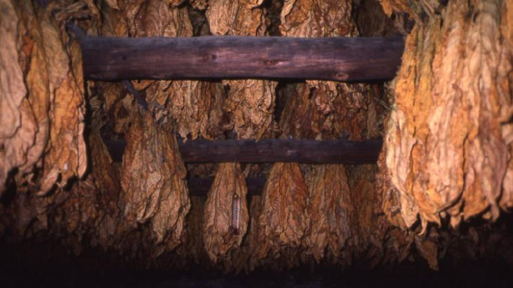 Cured bright leaf tobacco. Image from the State Historic Preservation Office.