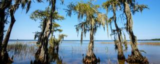 Trees grow from the water at Lake Waccamaw State Park