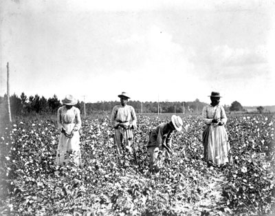 Picking cotton in New Bern in 1900. Image from the State Archives