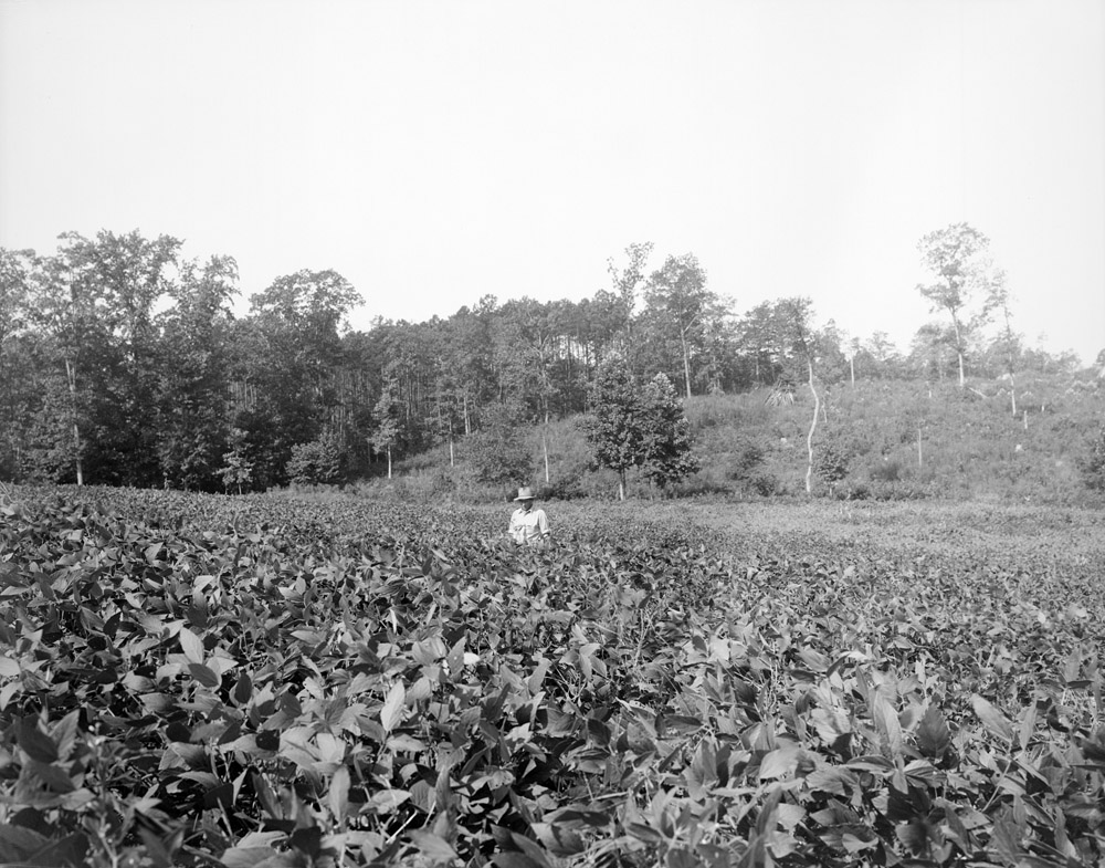 A farmer stands in an eastern North Carolina field, circa 1941.