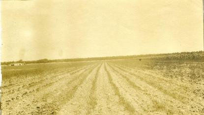A Hyde County soybean field circa 1910-1934. Image from the N.C. Museum of History.