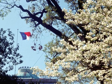 A dogwood tree in bloom with the State Capitol dome in the background, circa 1968.